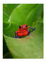 Poster Frog - various sizes