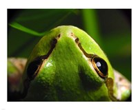 Tree Frog - various sizes - $25.49