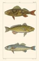 Freshwater Fish I Fine Art Print