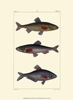Freshwater Fish III Fine Art Print