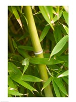 Close-up of a bamboo shoot with bamboo leaves Fine Art Print