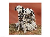 Dalmatians Fine Art Print
