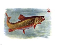Brook Trout American Fishes Fine Art Print