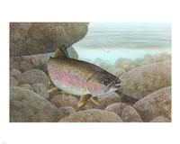 Rainbow trout - swimming Fine Art Print