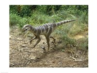 High angle view of a dromaeosaurus walking in a forest - various sizes