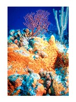 Elephant-ear-sponge and sea fan Fine Art Print