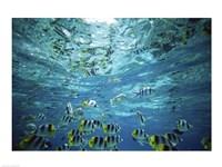 Tropical Fish  Bora Bora  French Polynesia - various sizes