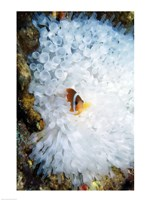 High angle view of a clown fish hiding in a sea anemone, Nananu-i-Ra island, Fiji Fine Art Print