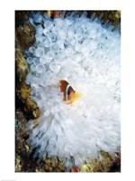 High angle view of a clown fish hiding in a sea anemone, Nananu-i-Ra island, Fiji Fine Art Print