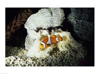 A Clown Fish and an Anemone Framed Print