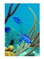 Blue Chromis Fish Fine Art Print