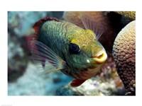 Redband Parrotfish - various sizes