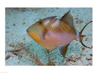 Queen Triggerfish Framed Print
