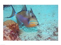 Queen Triggerfish Fine Art Print