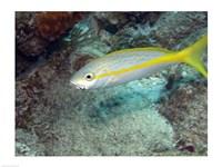 Yellowtail Snapper - various sizes