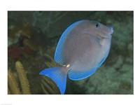 Blue Tang Fish - various sizes