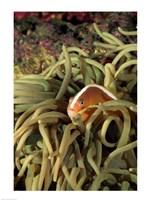 Orange Fin Anenomefish hiding in sea anemones underwater - various sizes - $29.99