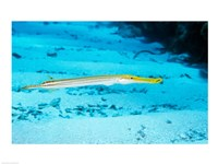 Side profile of a Yellow Trumpet Fish swimming underwater - various sizes