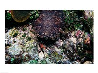 High angle view of a toadfish - various sizes