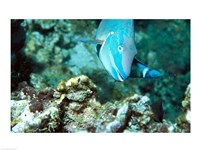 Close-up of a Stoplight Parrotfish swimming underwater - various sizes