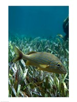 Side profile of a Blue Striped Grunt swimming underwater - various sizes