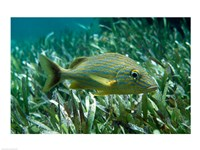 Side profile of a Blue Striped Grunt - various sizes