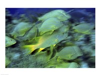 School of French Grunts swimming underwater, Bonaire, Netherlands Antilles - various sizes