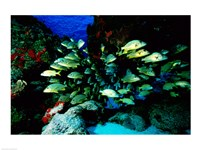 School of Blue Striped Grunts swimming underwater, Cozumel, Mexico Fine Art Print