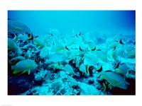 School of Blue Striped Grunts swimming underwater, Belize - various sizes