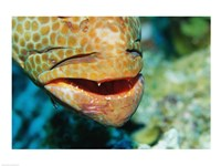 Close-up of the mouth of a Juvenile Grouper, Belize - various sizes