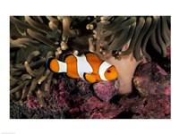 Percula Clownfish swimming near sea anemones underwater - various sizes