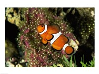 Percula Clownfish Framed Print