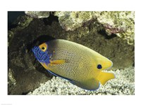 Blue-Faced Angelfish - various sizes
