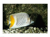 Pearlscale Butterflyfish - various sizes - $29.99
