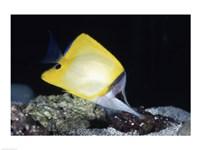 Longnose Butterflyfish - various sizes
