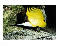 Close-up of a Longnose Butterflyfish - various sizes