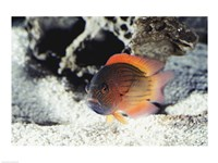 Flame Grouper - various sizes