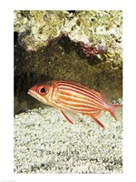 Close-up of a Squirrelfish - various sizes