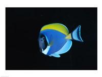 Close-up of a Powder Blue Surgeon Fish - various sizes