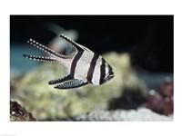 Close-up of a Banggai Cardinalfish - various sizes