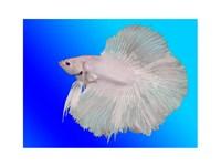White Betta Fish - various sizes