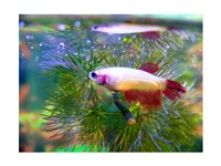 Crowntail Betta - various sizes
