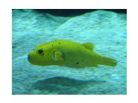 Puffer Fish - various sizes - $19.49
