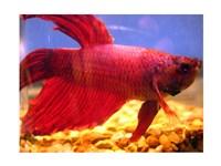 Red Betta Fish - various sizes