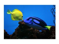 Yellow Tang and Blue Tang - various sizes, FulcrumGallery.com brand