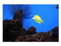 YellowTang fish - various sizes