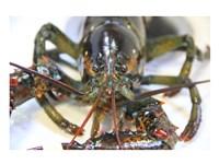 Lobstah Fine Art Print