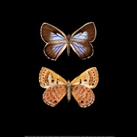 Pair of Butterflies on Black Fine Art Print