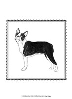 Boston Terrier Pictures