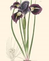 """22"""" x 28"""" Iris Pictures"""